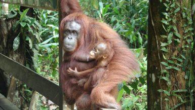 Crescere Girovagando_Malesia_Borneo_Centro di Conservazione degli Orang Utan di Semenggoh