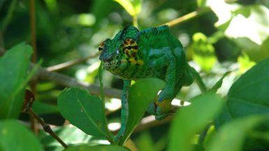 Crescere Girovagando_Madagascar_Nosy Be_camaleonte